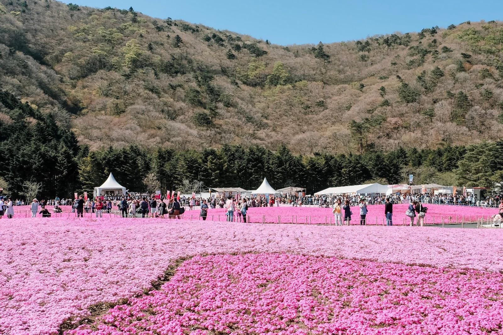 Fuji Shibazakura Festival Japan Curitan Aqalili