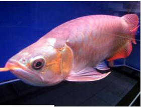 Ikan Hias Mahal super red
