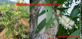 colds, flu and cough use melaleuca leucadendra
