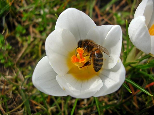 kwiat, krokus, pszczoła, trawa, wiosna