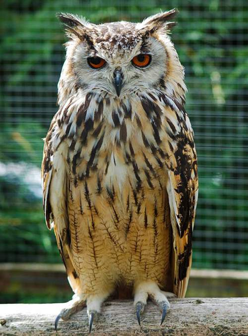 Birds of India - Photo of Rock eagle-owl - Bubo bengalensis
