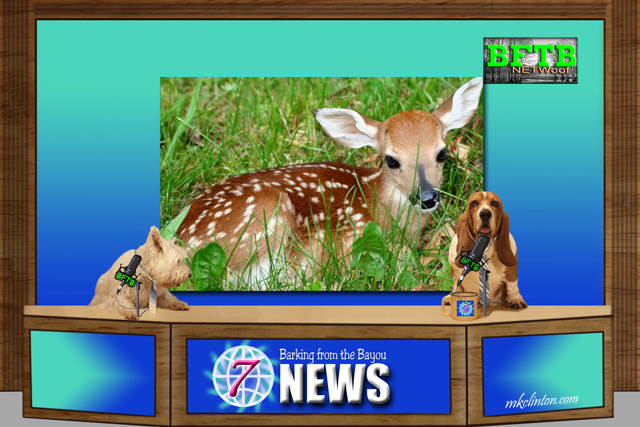 BFTB NETWoof News on fawn rescue