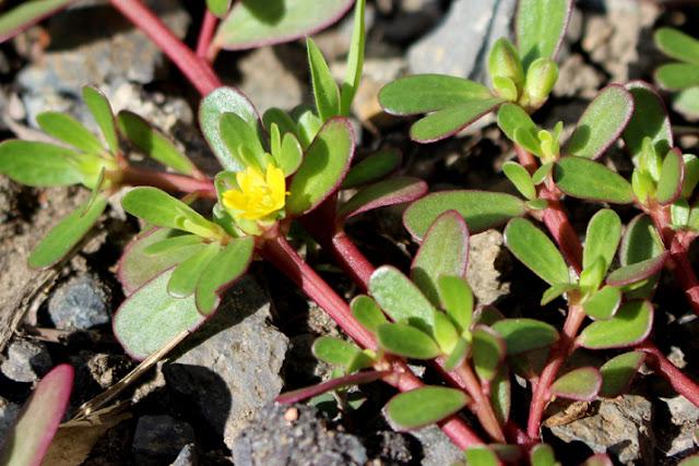 スベリヒユの黄色い花