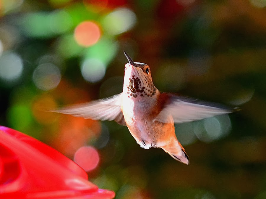 Vickie Henderson Art: Western Hummingbirds Wintering in