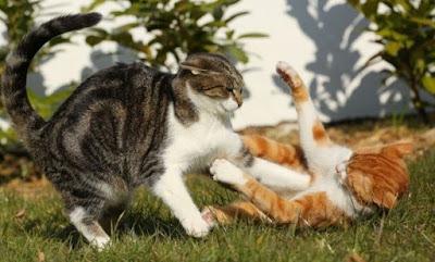 Cara Melatih Kucing Anda untuk Menerima Anak Kucing Baru