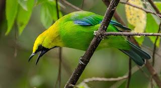 Suara Burung Cucak Ranti - Kicaumania.Online