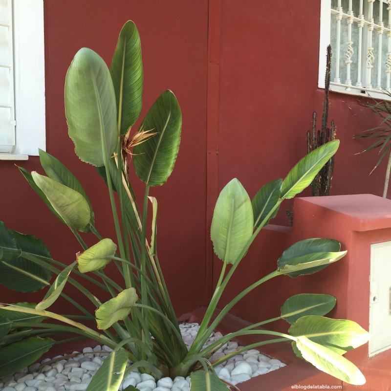 ave del paraíso (Sterlitzia reginae)