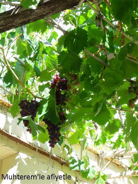 siyah üzüm asması