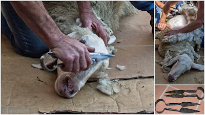 tosature delle pecore