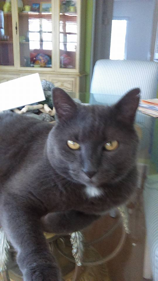 Harry the Chartreux Cat: HARRY THE GREEN CAT INTRODUCES HIS