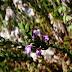 Η ΠΕΡΙΕΡΓΗ Μικρομέρια!!ΑΝΕΞΗΓΗΤΟ  αγριολούλουδο που φυτρώνει μόνο στην Ακρόπολη και πουθενά αλλού στον κόσμο!!ΤΟ ΠΗΡΕ ΓΙΑ ''ΜΕΛΕΤΗ''  Η βοτανολόγος δρ Κιτ Ταν από το Πανεπιστήμιο της Κοπεγχάγης...και...Από τότε η τοποθεσία του φυτού παραμένει μυστική για την ''ΠΡΟΣΤΑΣΙΑ'' του...!!ΔΗΛΑΔΗ ΜΑΣ ΤΟ ΕΚΛΕΨΑΝ...!![ΒΙΝΤΕΟ]
