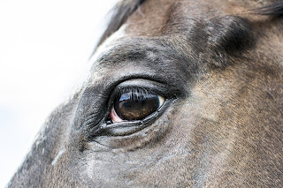 A close up of an appaloosa horse's eye
