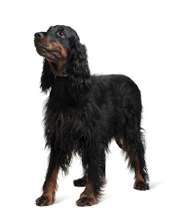 Everything about your Gordon Setter