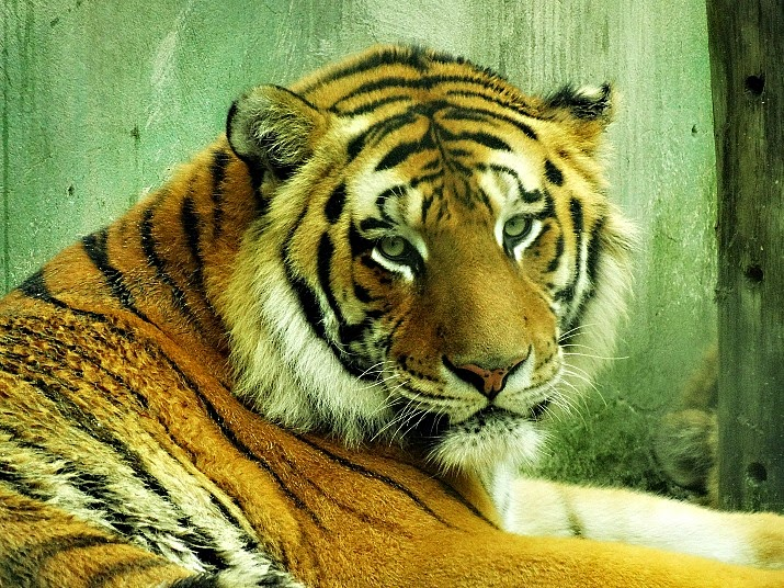 Um dos tigres na área destinada aos felinos no Parque Santur