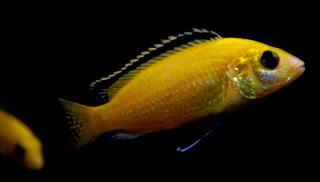 Tips tepat Cara memelihara ikan lemon dengan mudah
