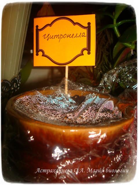 cimbopogon-citronella-lemongrass-kak-vyrastit-na-podokonnike
