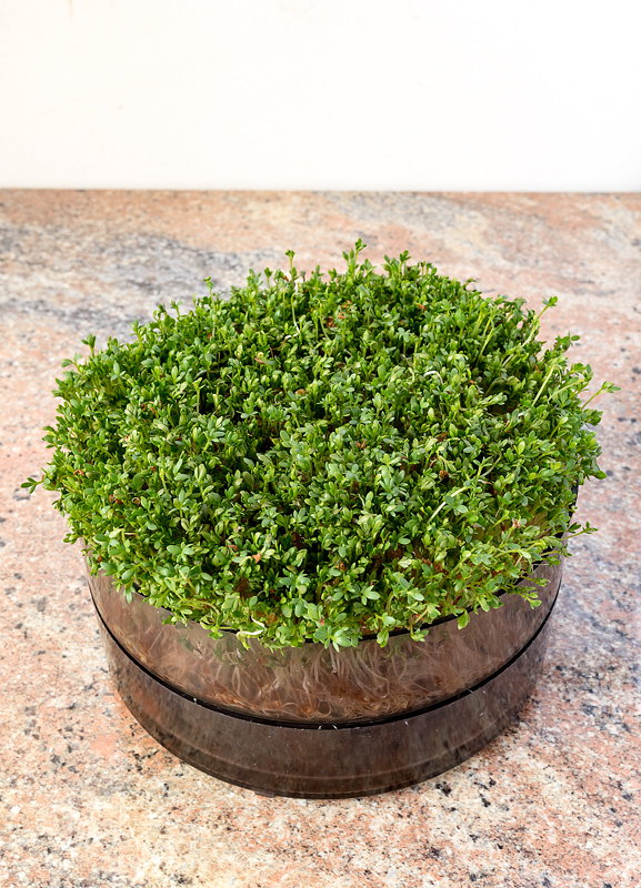 Micro greens - cress sprouts