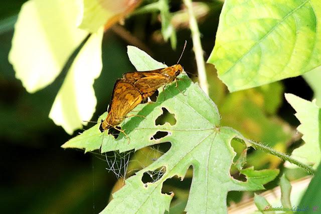 mating butterflies, Vietnam natural history