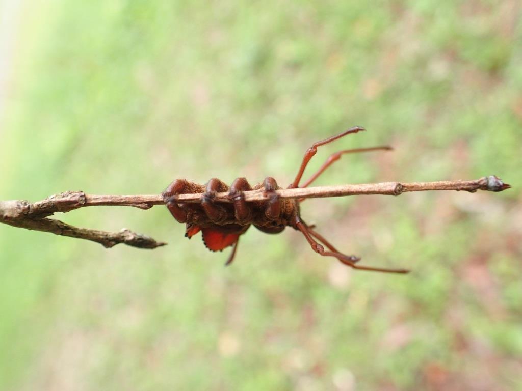 幼虫 シャチホコ ガ
