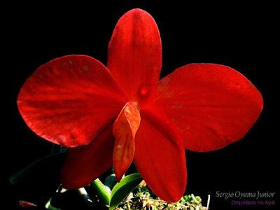 Orquídea vermelha Sophronitis coccinea