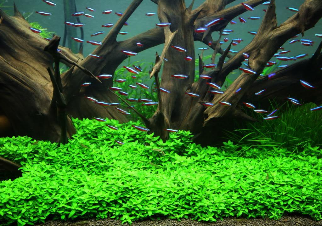 hồ thủy sinh trồng rau thơm xanh mướt