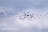 飛行するカワウの大集団の写真