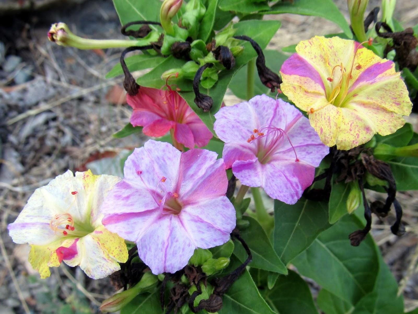 Hatmi çiçeğinin güzellik sırları