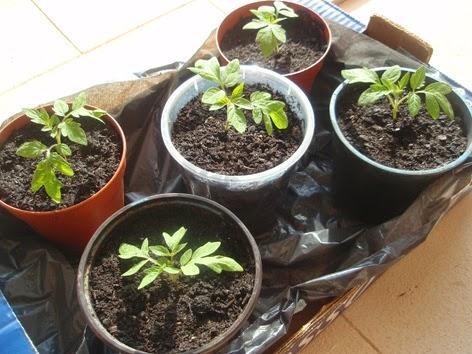 Plantas de tomate recién trasplantadas