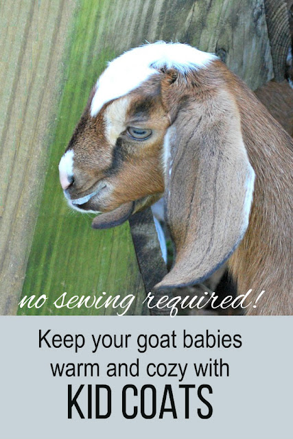 Newborn goat kids are fragile and are easily chilled, but heat lamps aren't safe. Make these quick-and-easy kid coats to keep your goat babies warm and cozy. No sewing required! #goat #homesteading