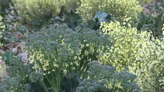 Brassica Oleracea Var. Italica