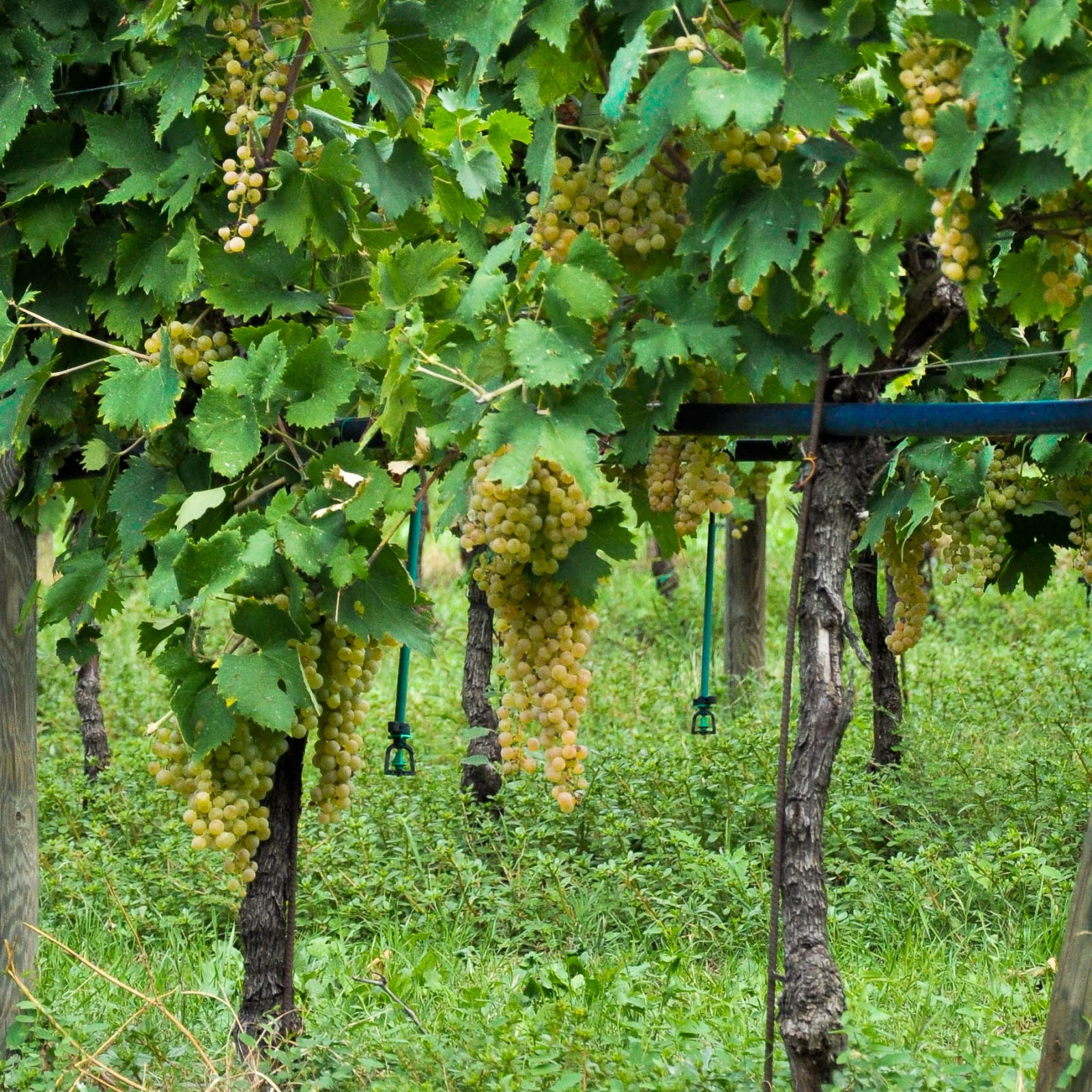 Grapes on the vine, Soave, Veneto, Italy