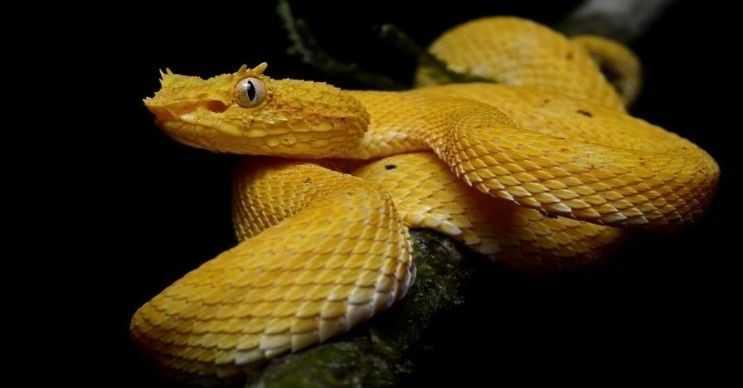 Kirpikli engerek yılanı iğneye benzer zehirli dişlere sahiptir, tek bir ısırığıyla bile yetişkin bir insanı felç edebilir.