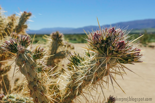 anza-borrego state park, desert, super bloom, desert bloom, san diego