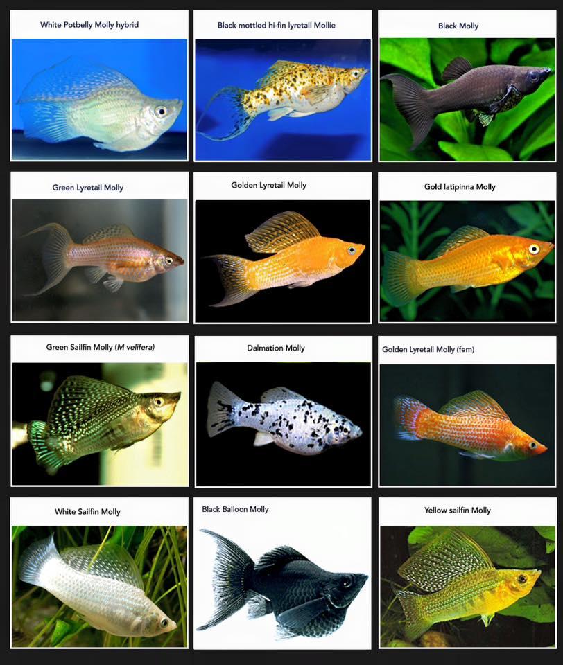 Molly Fish Information | Fish Aquarium World