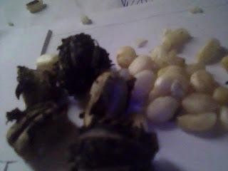 les graines de ricin