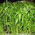 Ciri-Ciri tanaman Kangkung