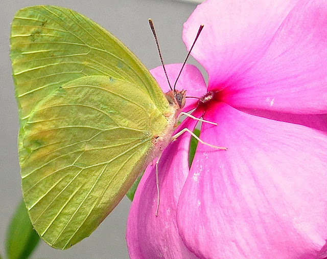 Cloudless sulphur butterfly drinking from vinca plant