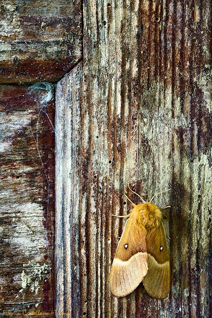 Polilla (Lasiocmpa trifoli), en madera vieja.