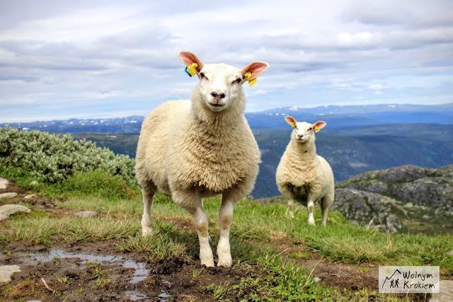 Norweskie Owieczki