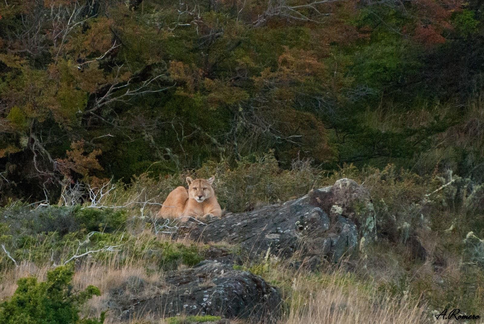Pasan la mayor parte del día descansando en lugares protegidos y con buena visibilidad, llevando a cabo sus cacerías durante las últimas horas del día o al amanecer. Parque Nacional Torres del Paine, Chile.