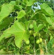 Manfaat Daun Jarak, Biji Buah Jarak dan Getah Pohon Jarak