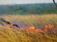 Burung Pembakar Hutan