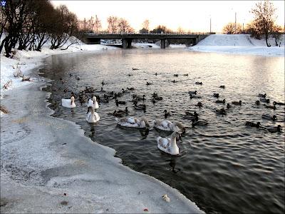 лебеди возле плотины ГЭС