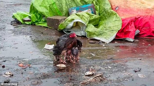 Anne tavuk insanlara böyle ders verdi
