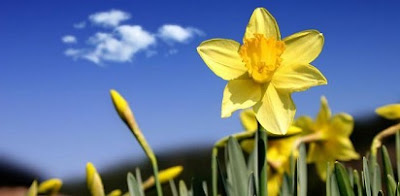 arti bunga, arti bunga daffodil, buket bunga daffodil, bunga daffodil di indonesia, harga bunga daffodil, makna bunga daffodil,