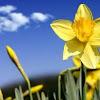 Arti Bunga Daffodil dan Fakta Tentang Bunga Kelahiran