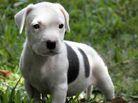 American PitBull Terrier Animal Pictures