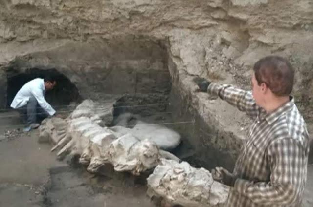 ¡Hallan fósil de ballena de 1,8 millones de años de antigüedad en México!