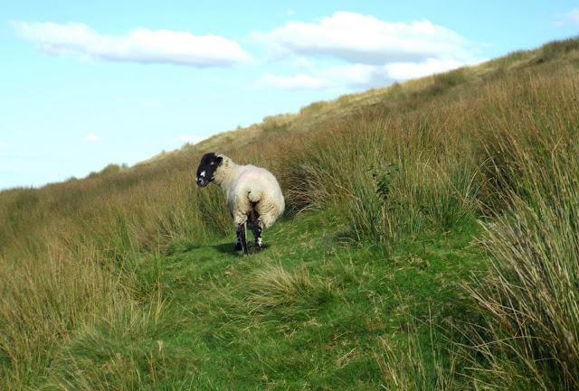 Sheep Haworth Moor