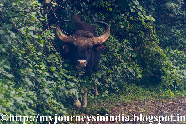 Bison seen en route to Berijam Lake Kodaikanal